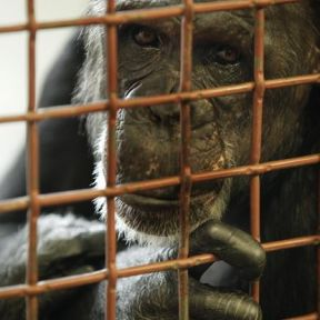 Chimpanzees: Former Pets or Performers Suffer For Years