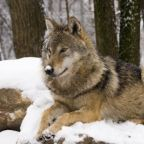 Killing 890 Wolves to Learn About Them: Something's Wrong