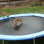 Do Animals Play for the Hell of It? Watch This Fox