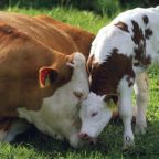 "Do Cows Moo ""Get me the Hell out of Here"" on Factory Farms?"