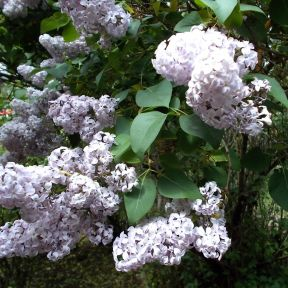 The Lesson of the Lilac