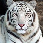 color blind; white tiger
