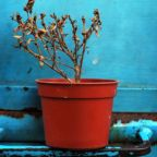 The Sadness of Potted Plants: Darwinian versus Non-Darwinian Conceptions of Humanity