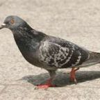 Don't Kick That Pigeon!  What Psychology Owes the Dove