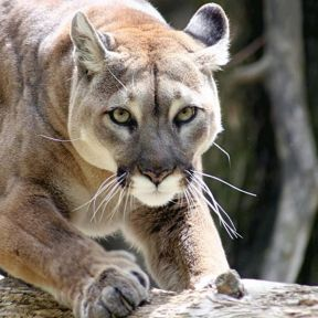 In an Encounter with a Cougar, Four Different Ways to Panic