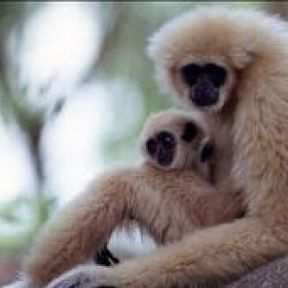 The Gibbon Mother - a brief lesson in love