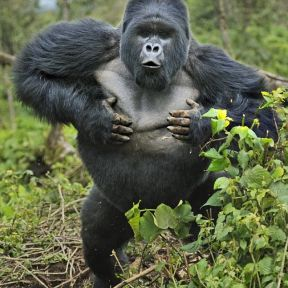 Watching Out for the Gorilla