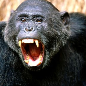 Language, and How to Have a Fair Fight with a Chimpanzee