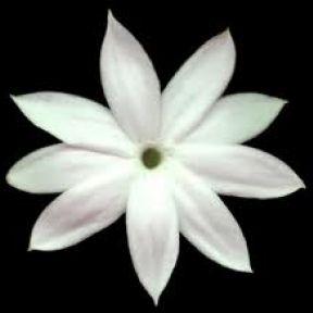 Jasmine: The Smell of Revolution