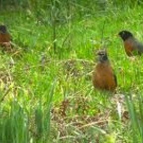 Flashmob Robins