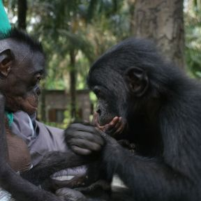 """We Gonna Make Bonobo Love"""