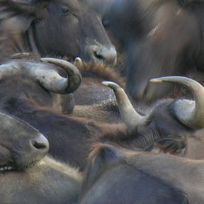 What Happens When Two Water Buffaloes Strain in Opposite Directions?