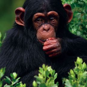 Chimps don't mourn like humans