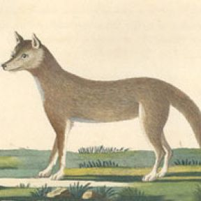 Wolves, Dingoes and (Other) Feral Dogs Cooperate, But Do They Coordinate?