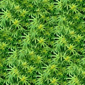 Marijuana Addiction Today
