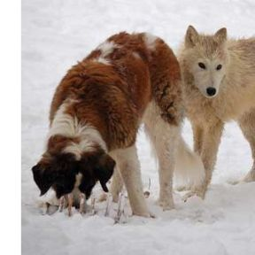 Wolves, Dogs and People: Is It Time to Reassess Our Beliefs About Attachment?