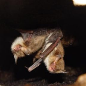 Bats Eavesdrop on Frisky Flies