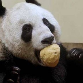 Sex and the Panda