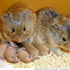 Vole Brains and Why You Should Care About Them