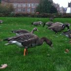 Geese Use Their Brains To Survive In Cities