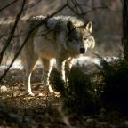 Washington Wolf Spayed For Cavorting With a Dog