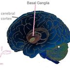 Basal ganglia/Wikimedia Commons, modified