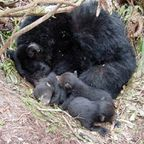 Bear hibernating with cubs