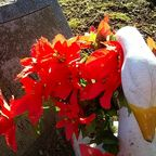 Poinsettias on the author's father's grave.