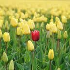 Red flower in field of yellow flowers