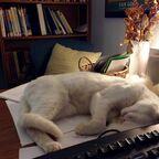 "Snowball ""helping"" me work."