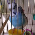 Budgerigar_Norway_-01, Labelled for Reuse, Wikimedia Commons