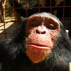 """Chimpanzee_selfie"" by Frontierofficial/CC by 2.0"
