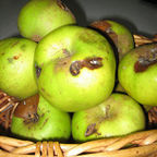 """green apples with rotten parts""/Fanny's Pix/Flickr"