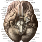 Ventral surface of brain from Sobotta's Human Anatomy 1908/wikimedia