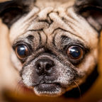 """""""Funny Pug Expression"""" by rpavich from Flickr.com CC BY 2.0"""