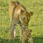 """The babysitter,"" Courtesy Thomas D. Mangelsen, Images of Nature"