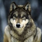 Killing Canadian Wolves Violated Accepted Welfare Guidelines