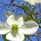 """Wouter Hagens, """"IMG 1527Dogwood"""". Licensed under Public Domain via Wikimedia Commons"""