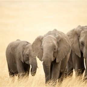 The free teaser image can be seen at http://www.hdnicewallpapers.com/Elephant-Wallpapers