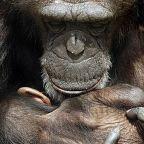 "The teaser image found under ""free images grieving animals"" can be seen here -- http://www.theguardian.com/commentisfree/2010/apr/29/grieving-chimps-need-more-research"