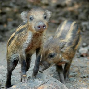 The free teaser image can be seen here -- http://pbcfi.org.ph/activities/species/visayan-warty-pig