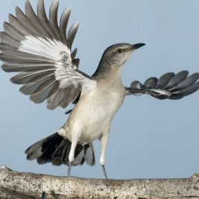 http://homepages.sover.net/~clifdisc/birds/birdaday/030northernmockingbird.jpg