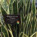 Wikimedia Commons/Mother-In-Law Tongue Plant by Victor Grigas/Creative Commons Attribution Attribution-Share Alike 3.0 Unported