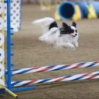 Papillon dog agility jump by Ron Armstrong, Helena, MT