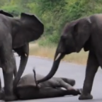 The teaser image can be seen here -- http://www.grindtv.com/wildlife/herd-rescues-fallen-baby-elephant-on-busy-roadway/#f2OqzE1AGK08T1hA.97