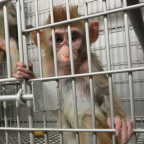The free teaser image can be seen here -- http://investigations.peta.org/pain-fear-death-primate-products/