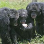 """Three chimpanzees with apple"" by Matthew Hoelscher - originally posted to Flickr as ""Whatcha got there?"". Licensed under CC BY-SA 2.0 via Wikimedia Commons - http://commons.wikimedia.org/wiki/File:Three_chimpanzees_with_apple.jpg#/media/File:Three_chimpanzees_with_apple.jpg"
