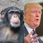 Wikimedia Commons: Chimpanzee: Leipzig Zoo.  Wikimedia Commons: Permission granted to copy, distribute and/or modify under the terms of GNU Free Documentation License. Donald Trump: file licensed under the Creative Commons Attribution-Share Alike 2.0 Generic license.