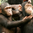 The free teaser image can be seen here -- http://www.utahpeoplespost.com/2014/10/wild-chimps-teach-each-other-how-to-use-a-new-tool/