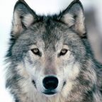 Wolf Murder Canadian Style Continues as if it's Conservation